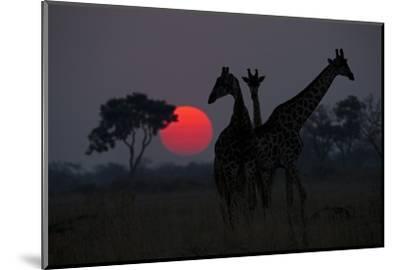 Three Giraffe Silhouettes Against the Setting Sun-Beverly Joubert-Mounted Photographic Print