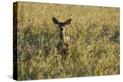 A Mule Deer, Odocoileus Hemionus, Stands in a Grass Field-Paul Colangelo-Stretched Canvas Print