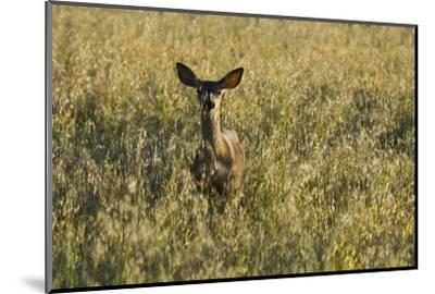 A Mule Deer, Odocoileus Hemionus, Stands in a Grass Field-Paul Colangelo-Mounted Photographic Print