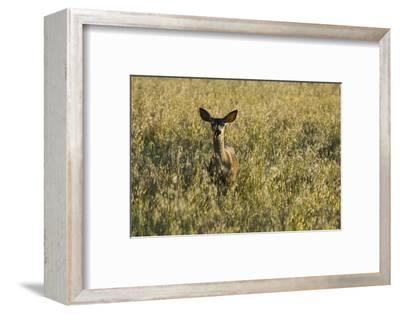 A Mule Deer, Odocoileus Hemionus, Stands in a Grass Field-Paul Colangelo-Framed Photographic Print