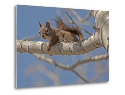 An American Red Squirrel, Tamiasciurus Hudsonicus, Perches on a Branch of an Aspen Tree-Gordon Wiltsie-Metal Print