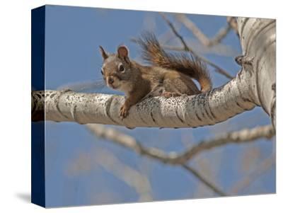 An American Red Squirrel, Tamiasciurus Hudsonicus, Perches on a Branch of an Aspen Tree-Gordon Wiltsie-Stretched Canvas Print