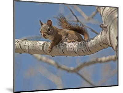 An American Red Squirrel, Tamiasciurus Hudsonicus, Perches on a Branch of an Aspen Tree-Gordon Wiltsie-Mounted Photographic Print