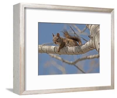 An American Red Squirrel, Tamiasciurus Hudsonicus, Perches on a Branch of an Aspen Tree-Gordon Wiltsie-Framed Photographic Print