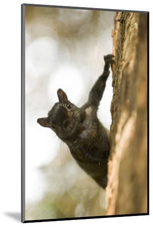 An Eastern Gray Squirrel, Sciurus Carolinensis, on the Side of a Tree-Paul Colangelo-Mounted Photographic Print