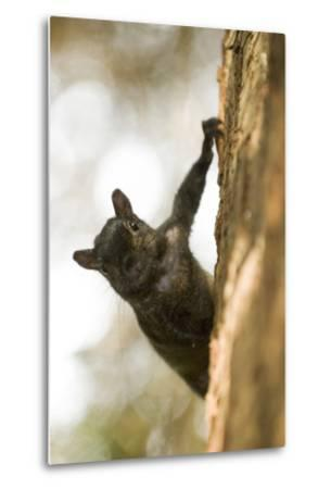 An Eastern Gray Squirrel, Sciurus Carolinensis, on the Side of a Tree-Paul Colangelo-Metal Print