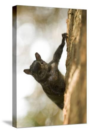 An Eastern Gray Squirrel, Sciurus Carolinensis, on the Side of a Tree-Paul Colangelo-Stretched Canvas Print