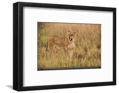 A Lioness in Tall Grasses Snarling or Displaying Flehmen Behavior-Bob Smith-Framed Photographic Print