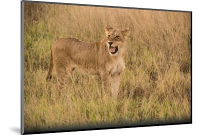 A Lioness in Tall Grasses Snarling or Displaying Flehmen Behavior-Bob Smith-Mounted Photographic Print