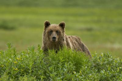 A Grizzly Bear, Ursus Arctos, Stands in the Area of the Sacred Headwaters-Paul Colangelo-Framed Photographic Print