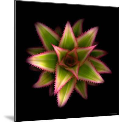 Cactus Star-Robert Cattan-Mounted Photographic Print