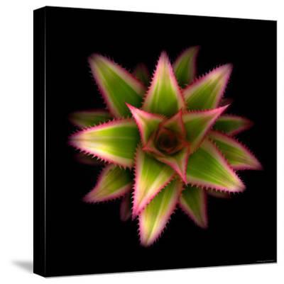 Cactus Star-Robert Cattan-Stretched Canvas Print