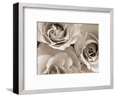 Three White Roses-Robert Cattan-Framed Premium Photographic Print