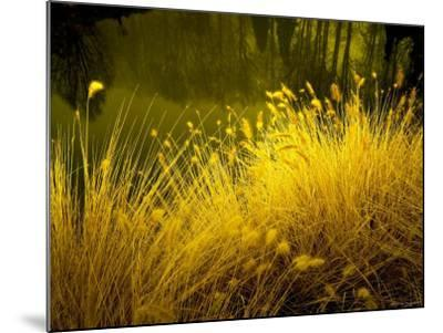 Golden Plants along River with Reflections of Trees-Jan Lakey-Mounted Photographic Print