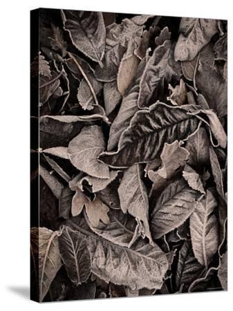 Sepia Leaves-Tim Kahane-Stretched Canvas Print