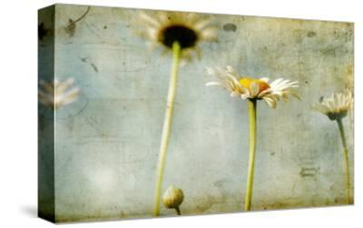Study of White Daisies-Mia Friedrich-Stretched Canvas Print