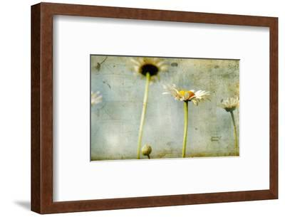 Study of White Daisies-Mia Friedrich-Framed Photographic Print