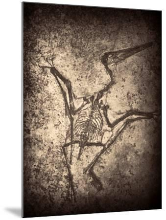 Pterodactylus Kochi-Clive Nolan-Mounted Photographic Print