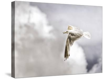 Gull-Stephen Arens-Stretched Canvas Print