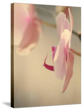 Study of an Orchid VII-Mia Friedrich-Stretched Canvas Print