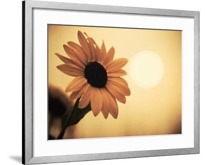Environment: Sunflower Sunset Landscape Affected by Colorado Wildfires Near Boulder-Kevin Lange-Framed Photographic Print