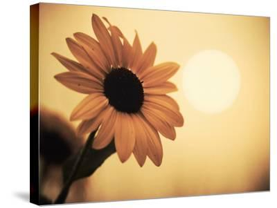 Environment: Sunflower Sunset Landscape Affected by Colorado Wildfires Near Boulder-Kevin Lange-Stretched Canvas Print
