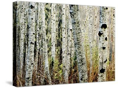 Glowoing Alders-Jody Miller-Stretched Canvas Print