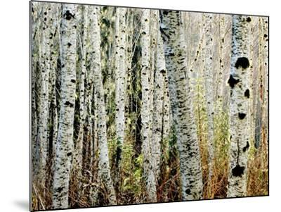 Glowoing Alders-Jody Miller-Mounted Photographic Print