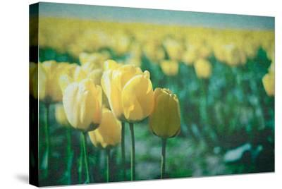 Yellow Tulip Field--Stretched Canvas Print