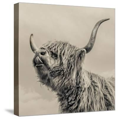 Highland Cattle-Mark Gemmell-Stretched Canvas Print