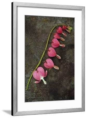 Stem of Pink and White Flowers of Bleeding Heart or Dicentra Gold Heart Lying-Den Reader-Framed Photographic Print