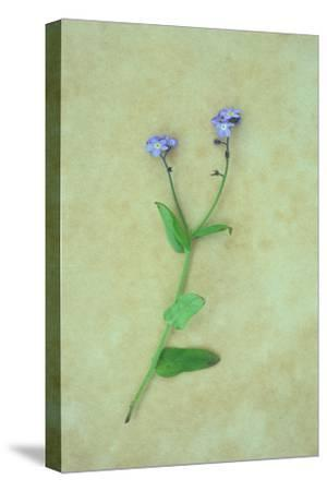 Single Flower-Den Reader-Stretched Canvas Print