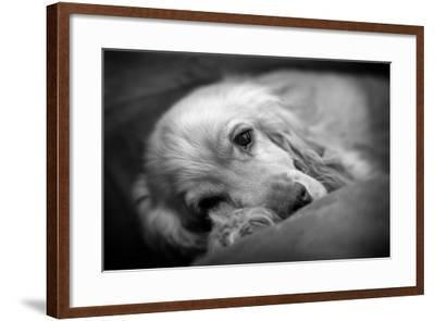 Dog Breeds - Cocker Spaniel - Puppies - English Cocker-Philippe Hugonnard-Framed Photographic Print