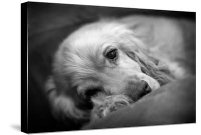 Dog Breeds - Cocker Spaniel - Puppies - English Cocker-Philippe Hugonnard-Stretched Canvas Print