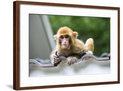 China 10MKm2 Collection - Baby Monkey-Philippe Hugonnard-Framed Photographic Print