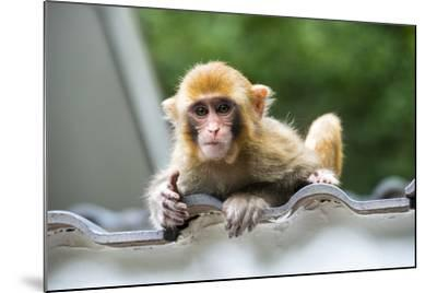 China 10MKm2 Collection - Baby Monkey-Philippe Hugonnard-Mounted Photographic Print