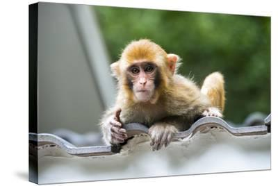 China 10MKm2 Collection - Baby Monkey-Philippe Hugonnard-Stretched Canvas Print