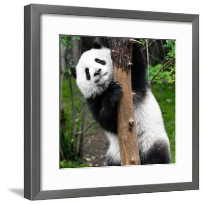 China 10MKm2 Collection - Giant Panda Baby-Philippe Hugonnard-Framed Photographic Print