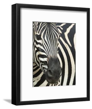 Burchell's (Plains) Zebra (Equus Burchelli), Mhkuze Game Reserve, Kwazulu Natal, South Africa-Ann & Steve Toon-Framed Photographic Print
