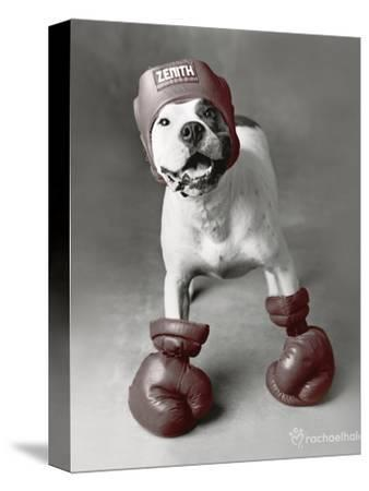 Boxing Dog-Rachael Hale-Stretched Canvas Print