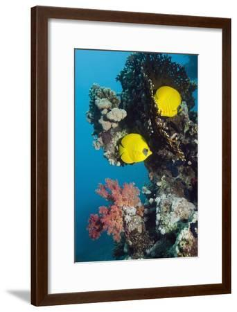 Golden Butterflyfish-Georgette Douwma-Framed Photographic Print