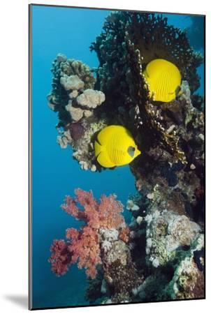 Golden Butterflyfish-Georgette Douwma-Mounted Photographic Print