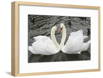 Mute Swans Courting-Georgette Douwma-Framed Photographic Print