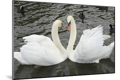 Mute Swans Courting-Georgette Douwma-Mounted Photographic Print