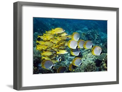 Butterflyfish And Snappers-Georgette Douwma-Framed Photographic Print