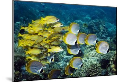 Butterflyfish And Snappers-Georgette Douwma-Mounted Photographic Print