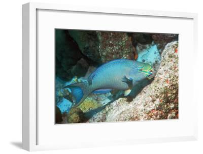 Queen Parrotfish-Georgette Douwma-Framed Photographic Print