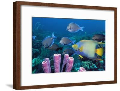 Queen Angelfish And Blue Tangs-Georgette Douwma-Framed Photographic Print