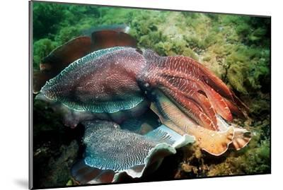 Giant Cuttlefish Males Fighting-Georgette Douwma-Mounted Photographic Print