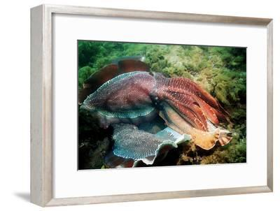 Giant Cuttlefish Males Fighting-Georgette Douwma-Framed Photographic Print